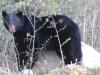 black-bear-ursus-americanus-iii