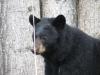 black-bear-ursus-americanus-xiiii