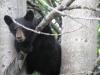black-bear-ursus-americanus-xxiii