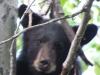 black-bear-ursus-americanus-xxiiii