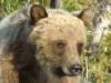 grizzly-bear-ursus-arctos-horribilis-iv