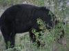 black-bear-ursus-americanus-vi